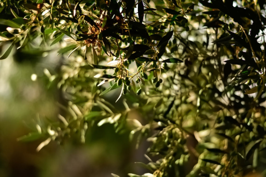 olio d'oliva, fascia olivata