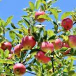 mele, Mele del Trentino, saporeria