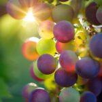 vino, Bestmedgrape