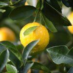 scarti di limoni