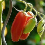 pomodoro pelato